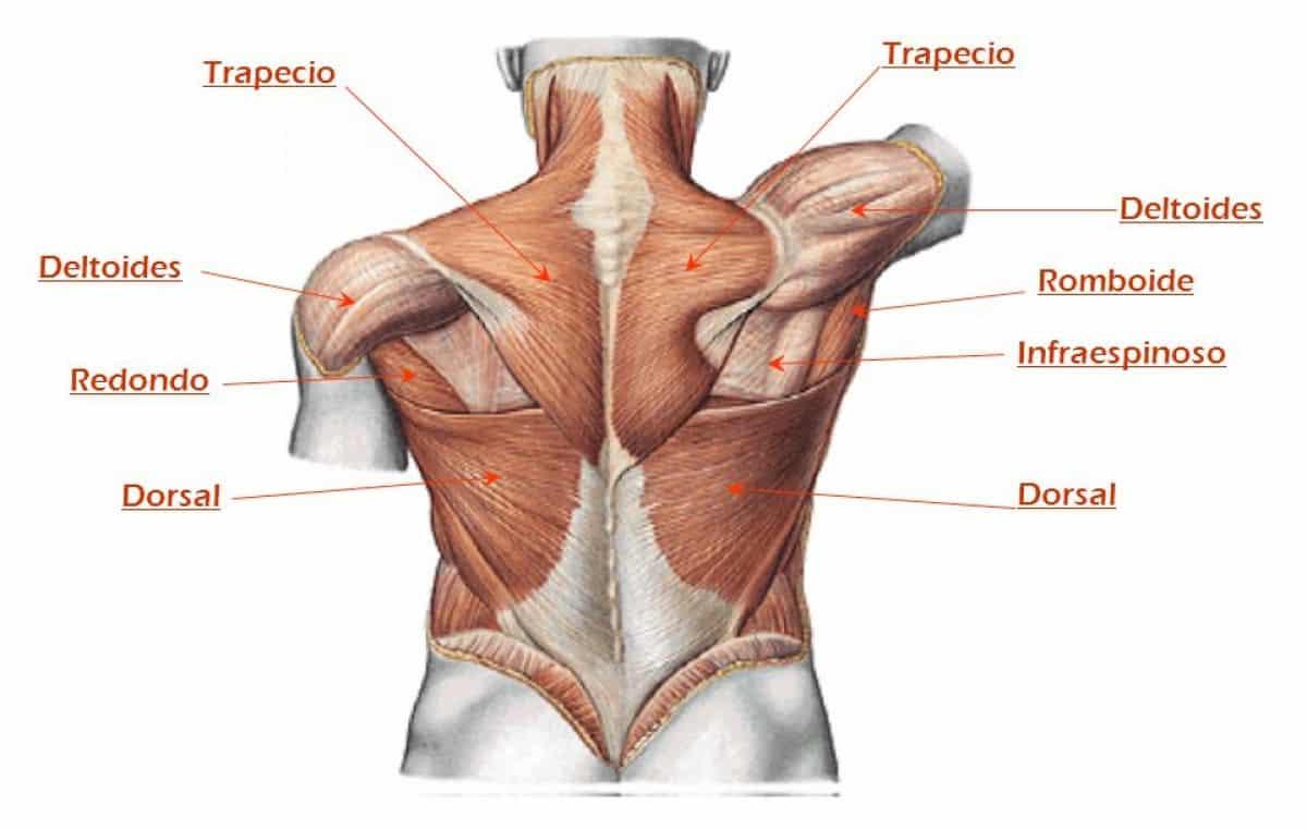 Anatomía de la Espalda | Ejercicios para espalda