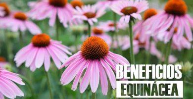 beneficios de la EQUINACEA 24