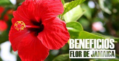 beneficios de la FLOR DE JAMAICA 26beneficios de la FLOR DE JAMAICA 26