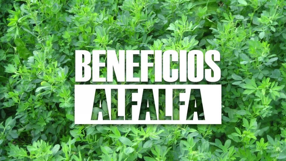 beneficios de la alfalfa