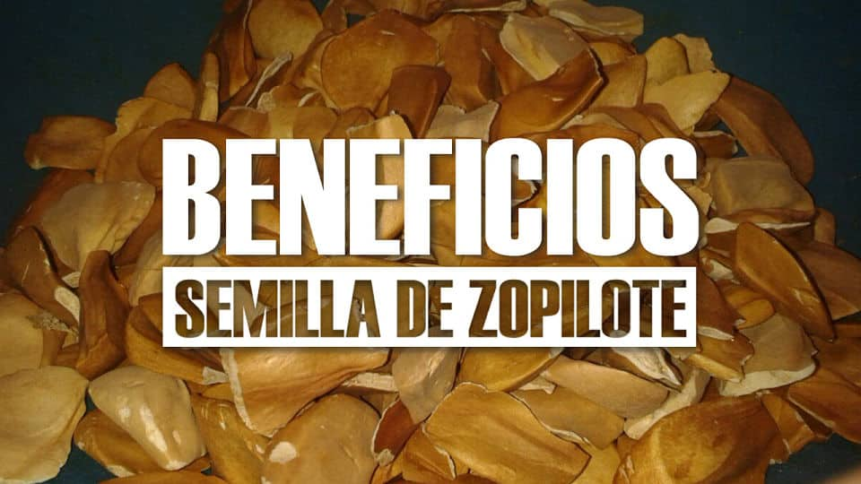 Beneficios de la semilla de zopilote