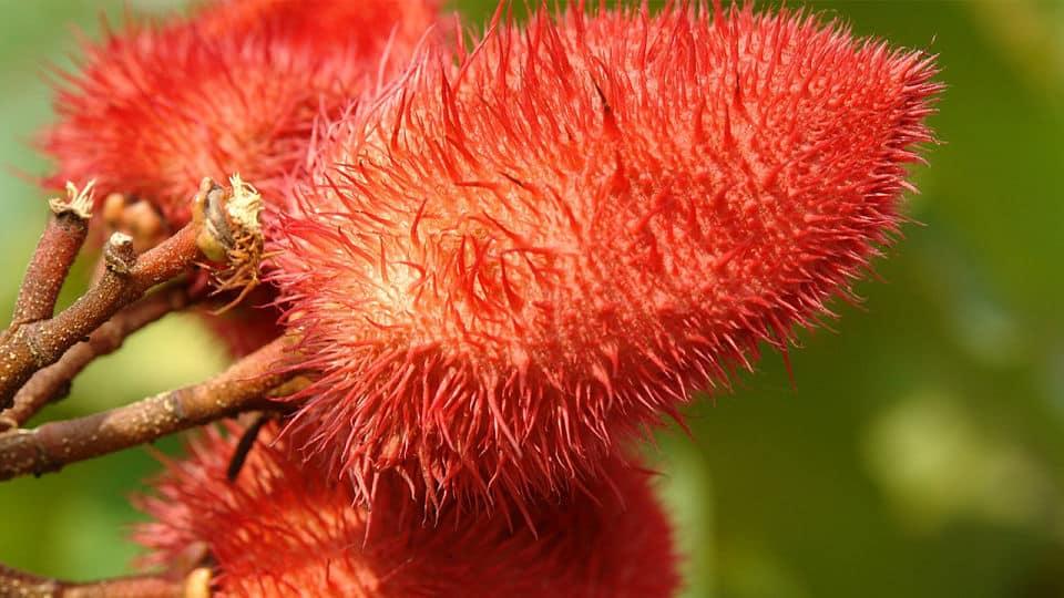 Planta de achiote - Árbol Bixa Orellana Flor